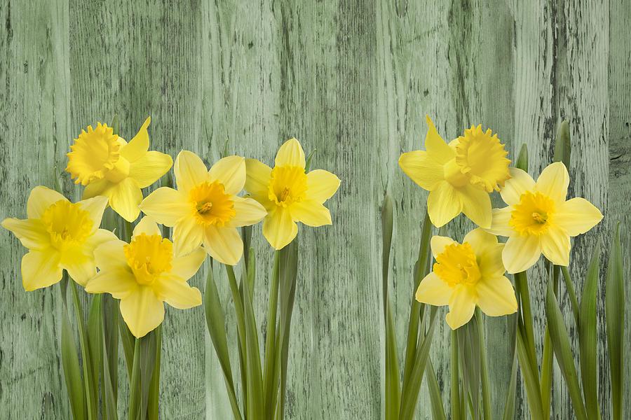 Spring Photograph -  Fresh Spring Daffodils by Gillian Dernie