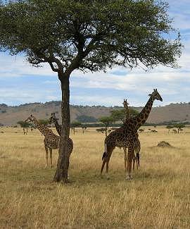 Animals Photograph -  Giraffes by Siddarth Rai