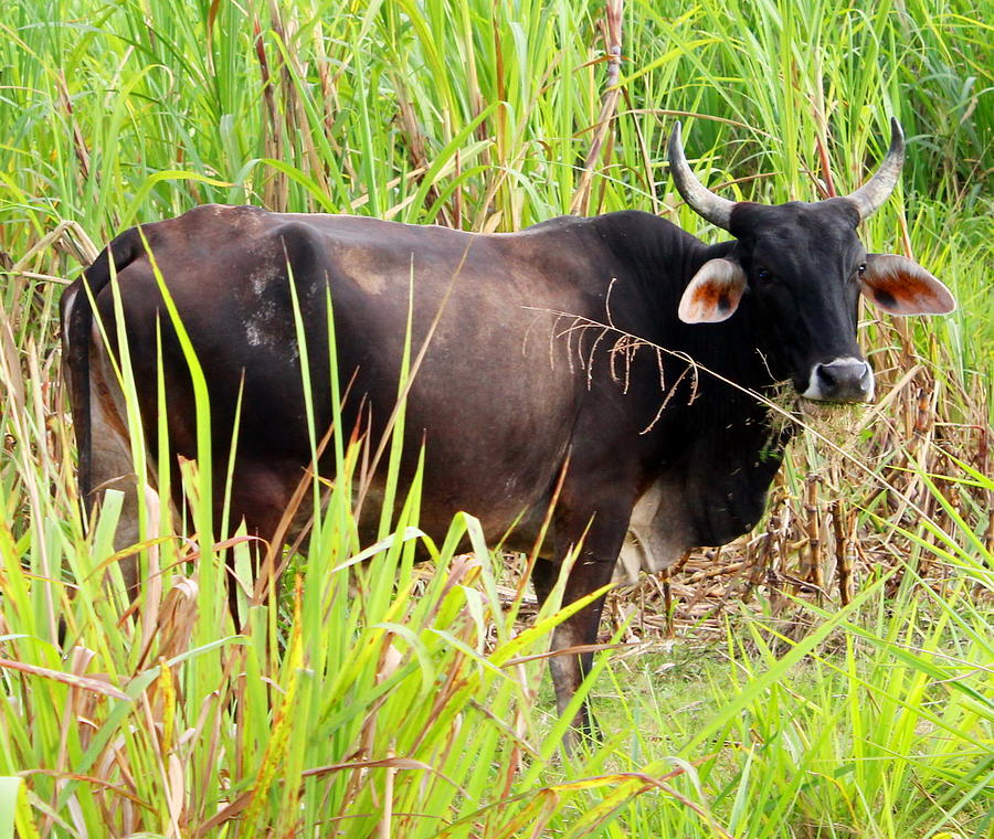 Jamaican Bull by Debbie Levene