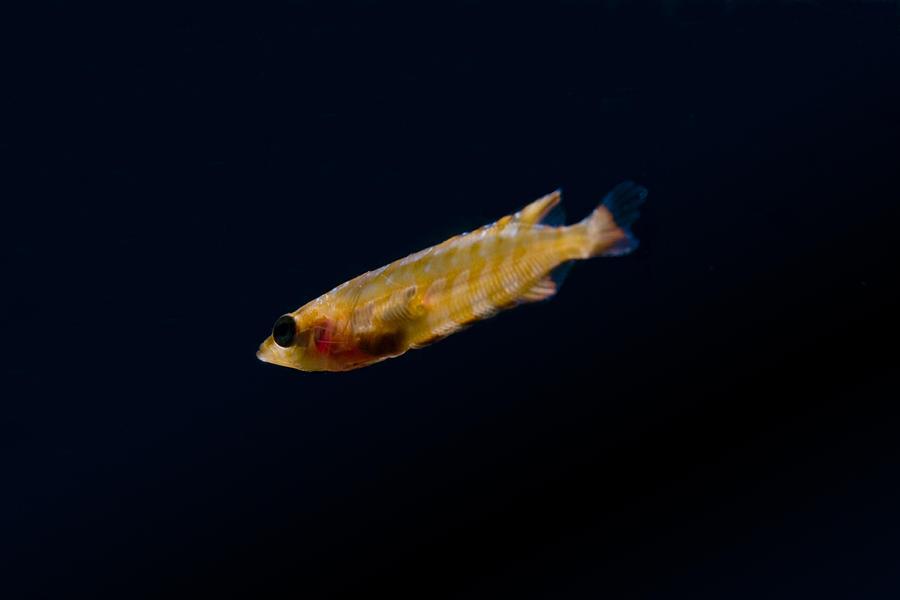 Giant Photograph -  Juvenile Giant Kelpfish by Bryan Toro