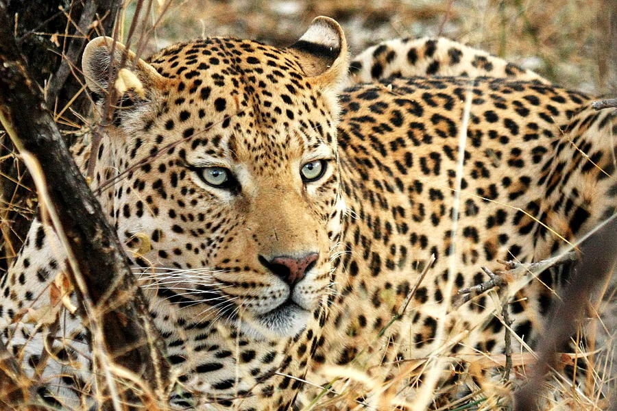 Africa Photograph -  Leopard Eyes by Tom Cheatham
