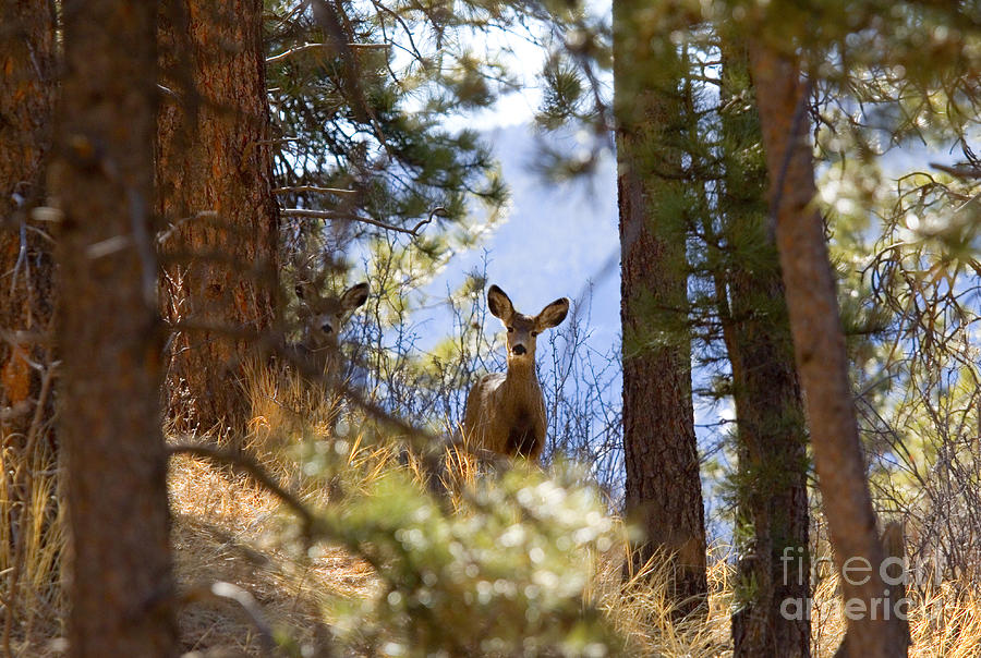 Lone Deer Doe In Winter Mountains Photograph