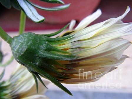 Flowers Photograph -  Loveflowers by Bali Chadha