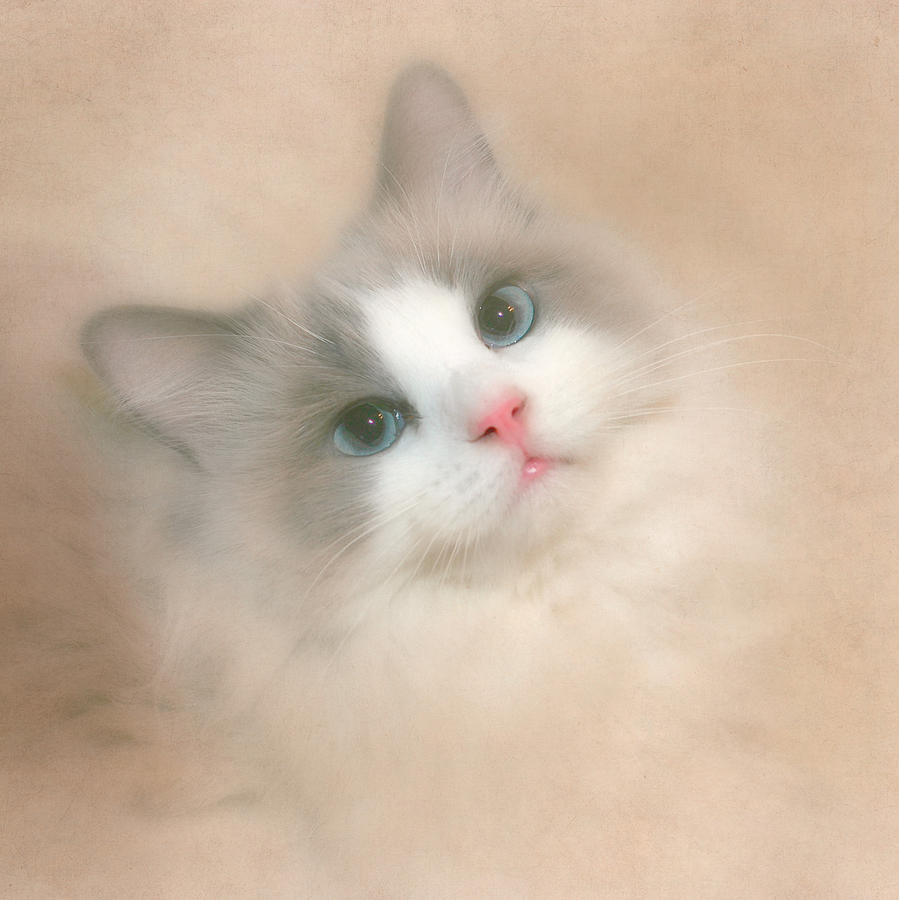 Cat Photograph -  Misty Blue by David and Carol Kelly