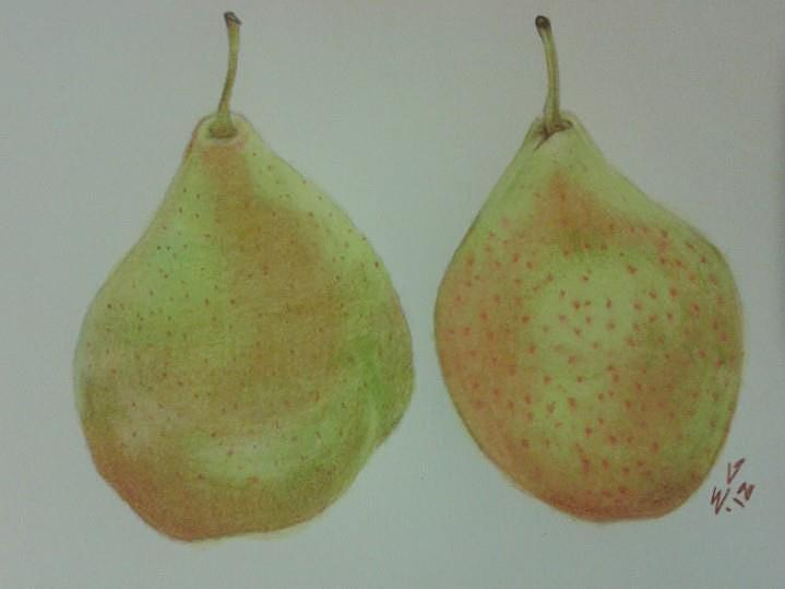 Fruits Drawing -  Pair Of Pears by Ekta Gupta