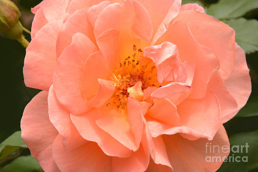 Rose Photograph -  Peachy Perfection by Regina Geoghan