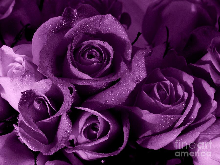 Roses Photograph -  Purple Haze by Nancie DeMellia