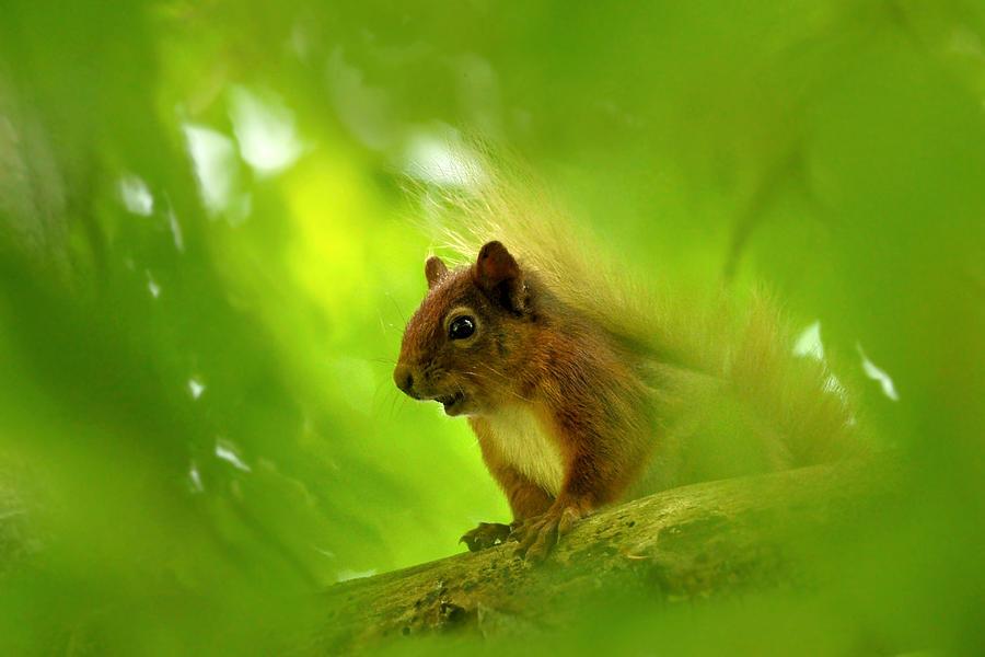 Squirrel Photograph -  Red Squirrel  by Gavin Macrae