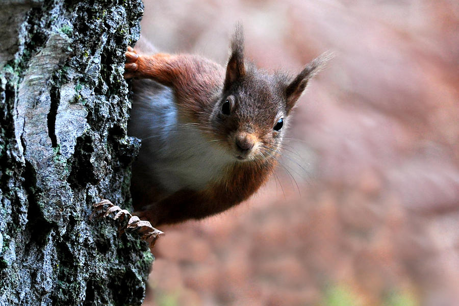 Red Squirrel by Macrae Images