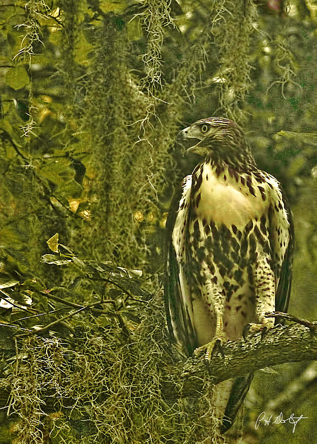 Birds Photograph -  Red-tail Posing by Phill Doherty