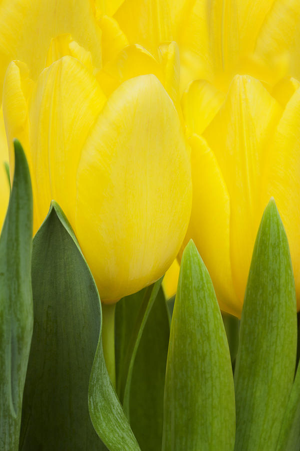 Spring Photograph -  Spring Yellow Tulips by Gillian Dernie