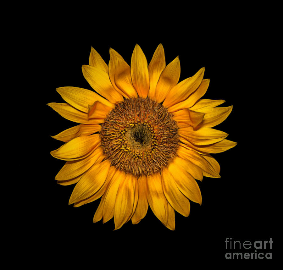 Yellow Flower Of Sunflower On Black Background Pyrography