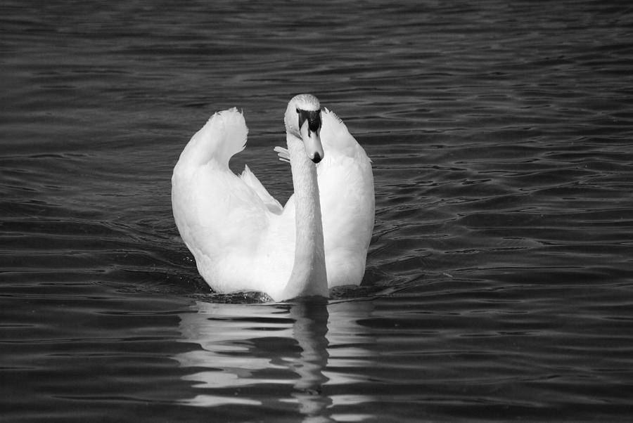 Swan Photograph -  Swan In Black And White  by Michelle  BarlondSmith