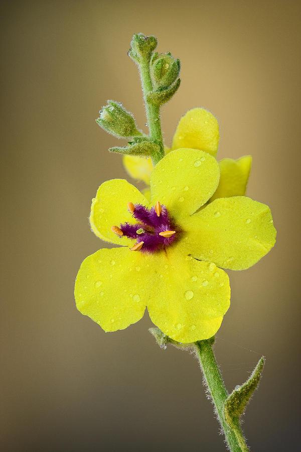 Flower Photograph -  Verbascum Tripolitanum by Yuri Peress