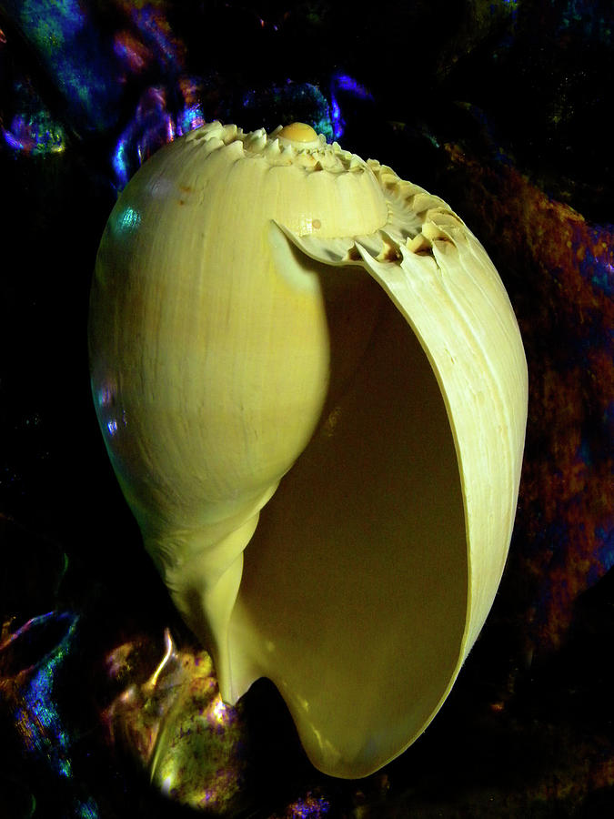 Frank Wilson Photograph -   Voluta Amphora Seashell by Frank Wilson