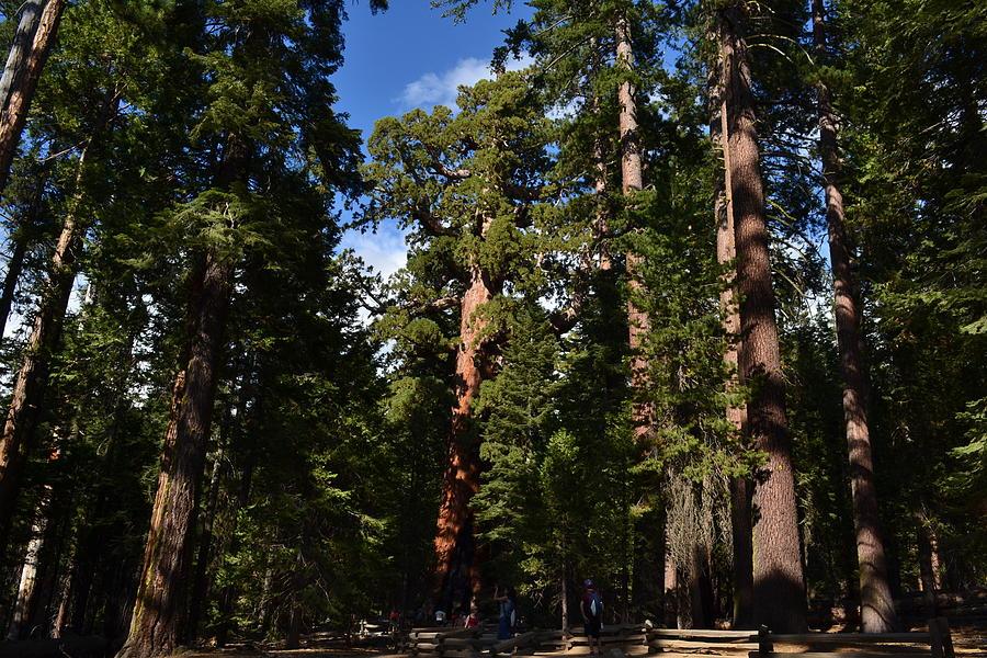 Wood Photograph -    Yosemite Sequia by Atul Daimari