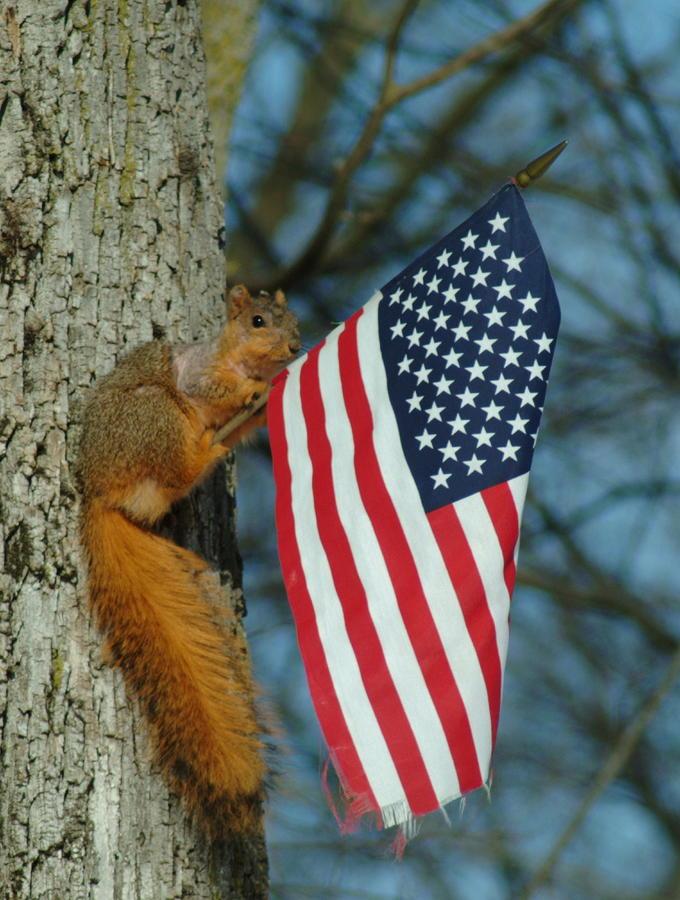 Squirrel Photograph - 010510-4   One Patriotic Squirrel by Mike Davis