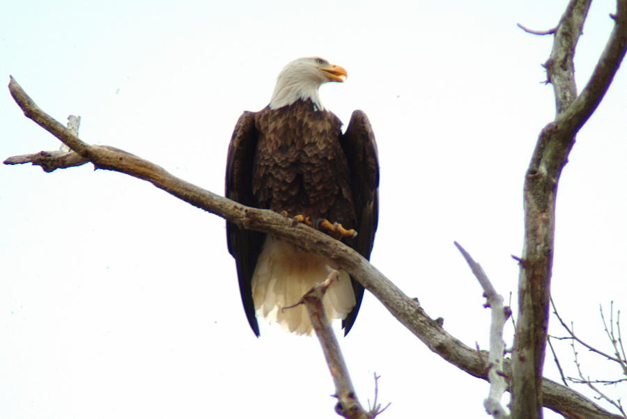 Eagle Photograph - 021609-18 by Mike Davis