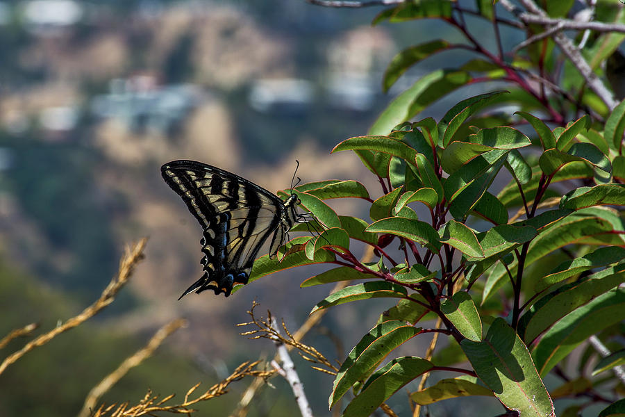 Black Photograph - 0518- Butterfly by David Lange