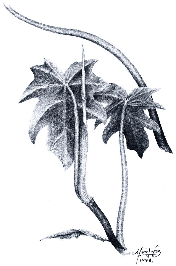 Plant Drawing - 06 by Mario E Lopez
