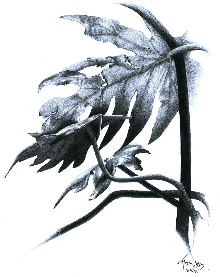 Plant Drawing - 07 by Mario E Lopez