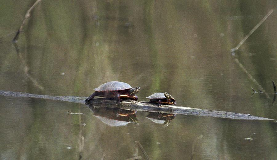 Turtle Photograph - 070406-68 by Mike Davis