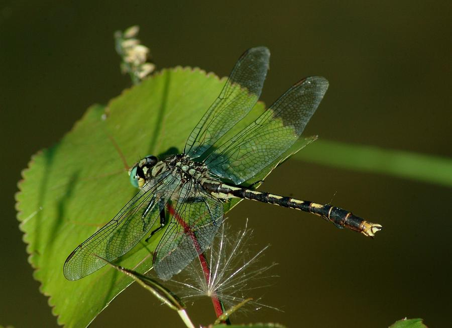 Dragonfly Photograph - 071609-176 by Mike Davis