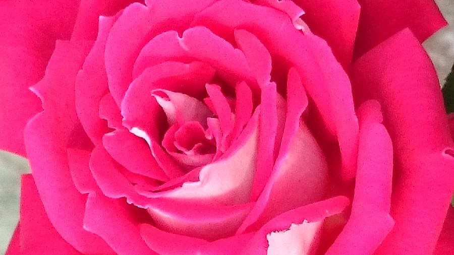 Rose Photograph - Bara Means Rose by Sobajan Tellfortunes