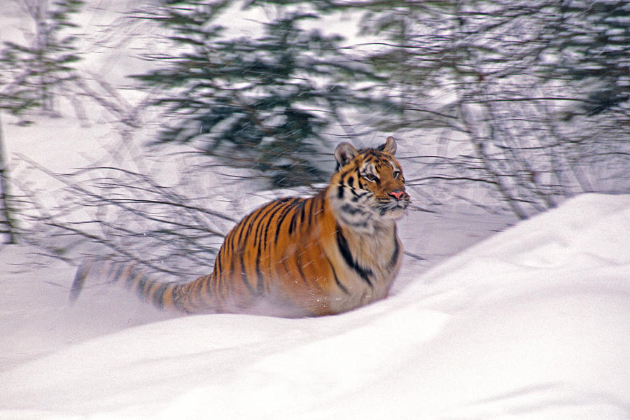 Tiger Photograph - A Blur Of Tiger by Michele Burgess