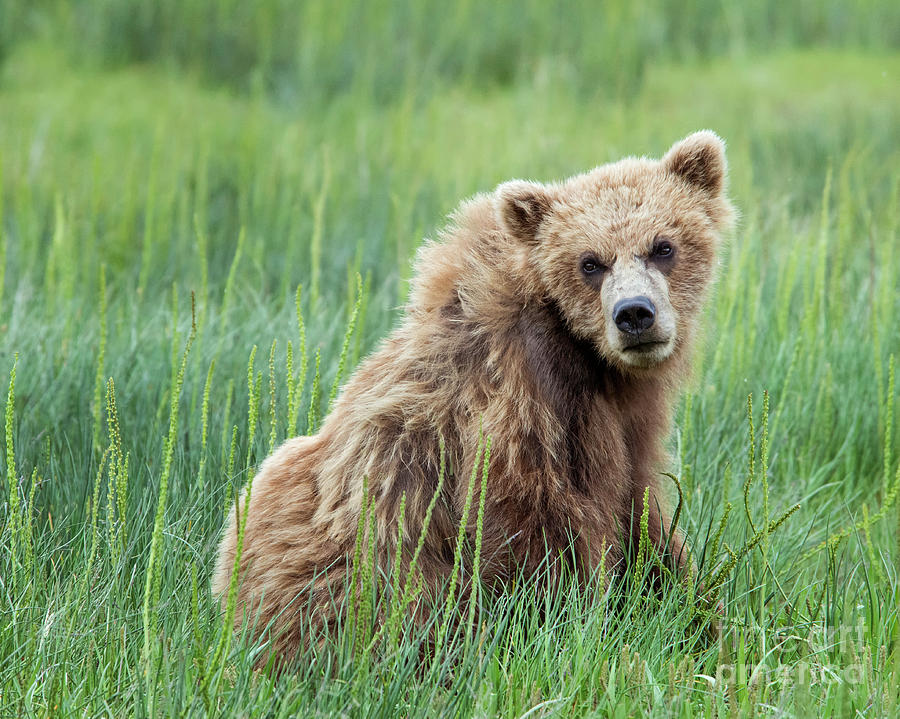 Grizzly Bear Photograph - A Glance Back by Claudia Kuhn