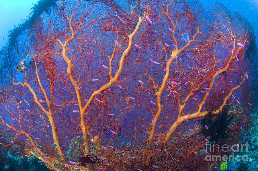 Anthozoa Photograph - A Red Sea Fan With Purple Anthias Fish by Steve Jones