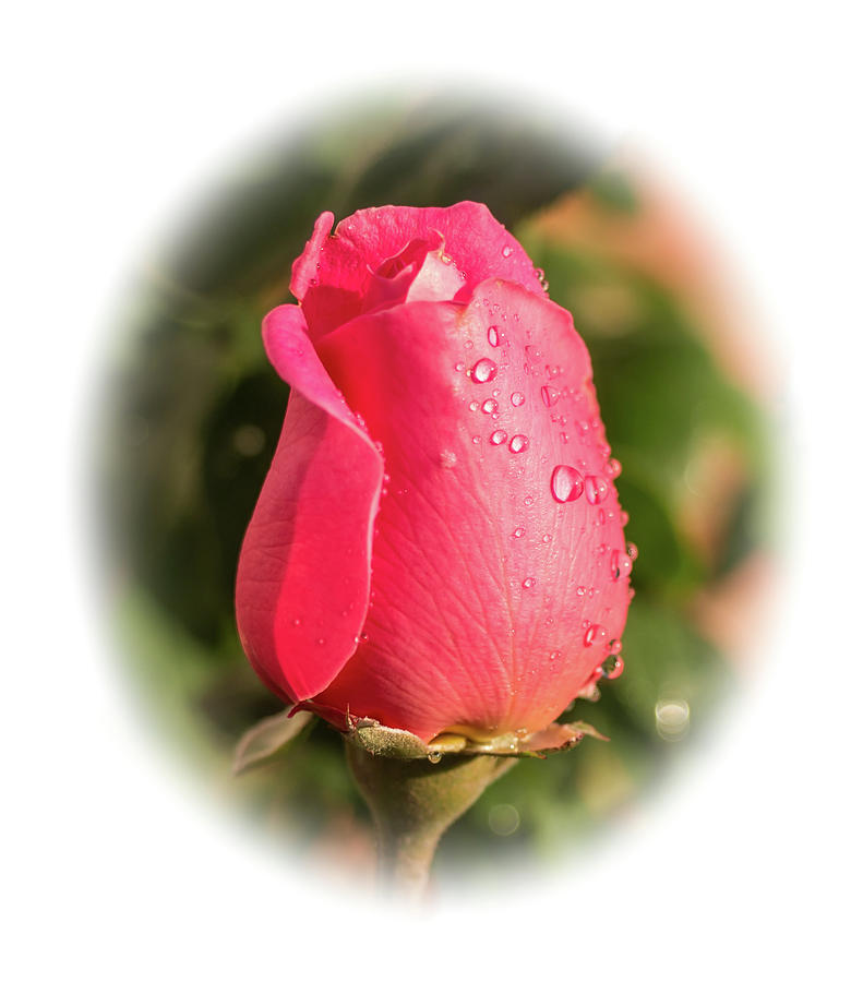 A Rose for Love by Ed Clark
