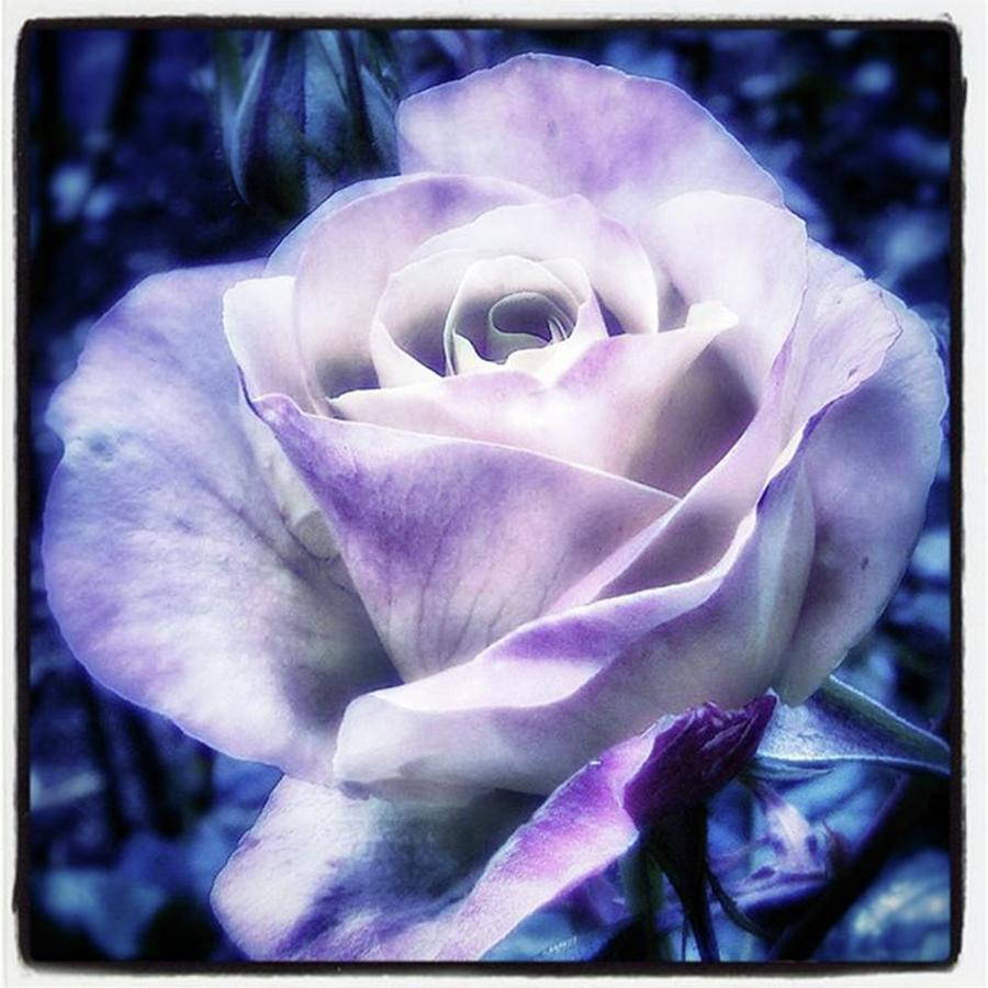 Florists Photograph - A Rose Is A Rose Is A Rose, Variation by Mr Photojimsf