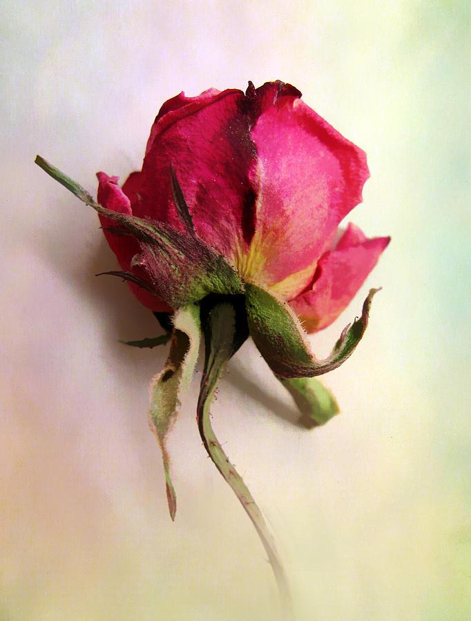 Flowers Photograph - A Single Rose by Jessica Jenney