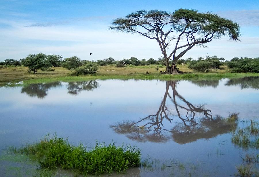 Acacia Tree Reflection Photograph by Gregory Daley  MPSA