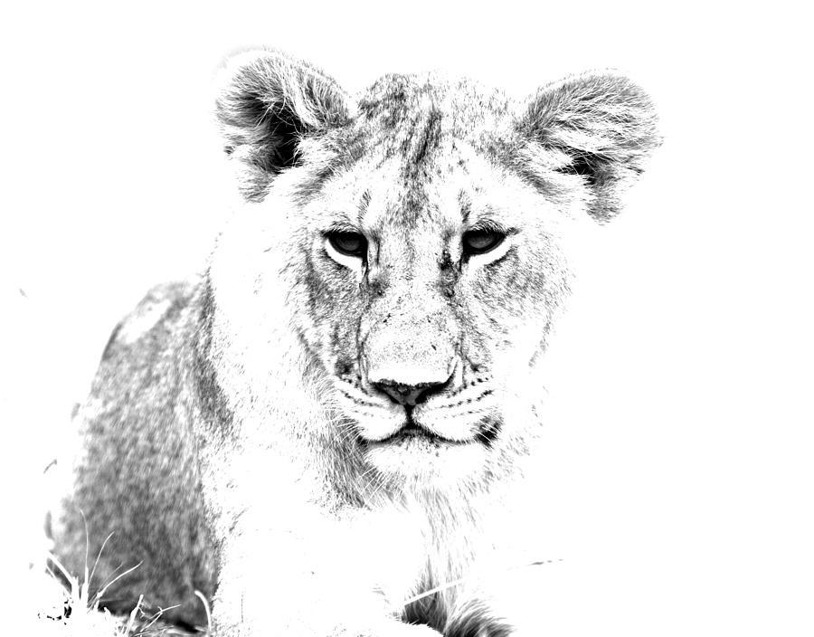 African Lion Photograph