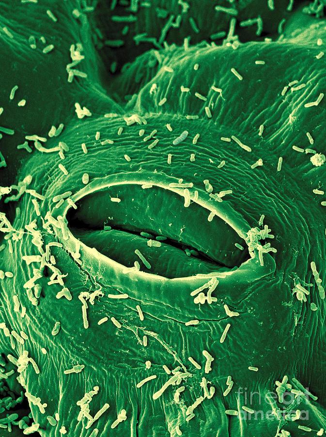A. Tumefaciens Photograph - Agrobacterium Tumefaciens by Scimat