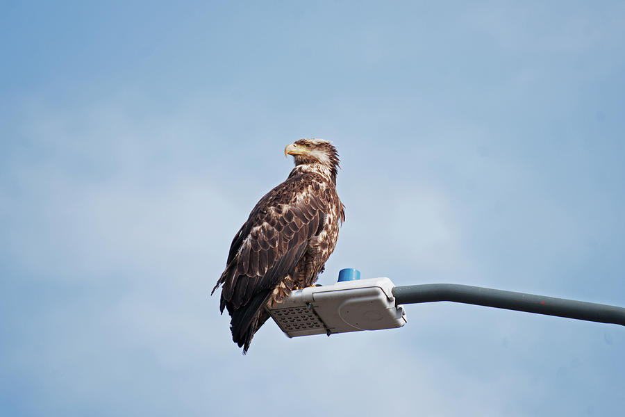 Alaska Photograph - Alaska Bald Eagle by Robert Braley
