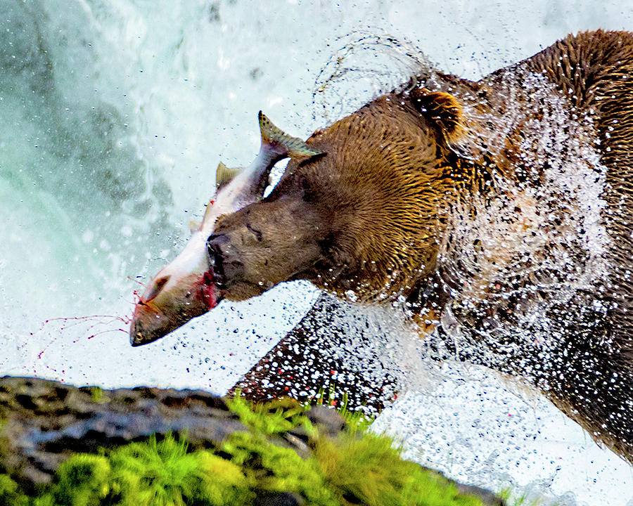 Alaska Brown Bear Photograph - Alaska Brown Bear by Norman Hall