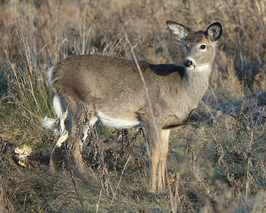 White-tailed Deer Photograph - Alert by Doris Potter