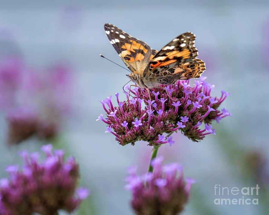 Painted Lady Photograph - Alit by Claudia Kuhn