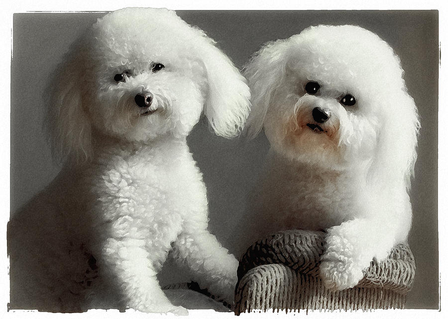 Bichon Frise Photograph - All Smiles by Lynn Andrews