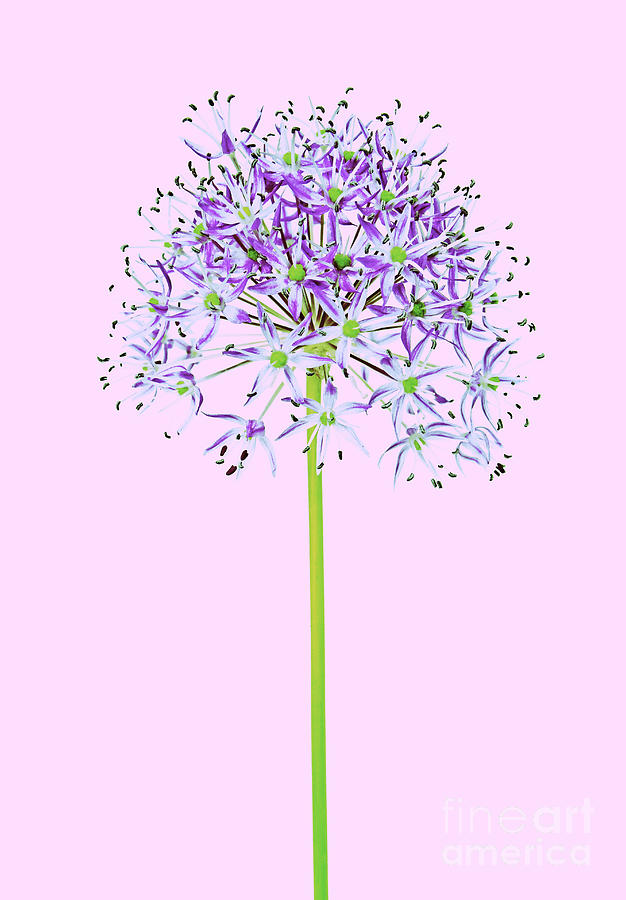 Allium by Tony Cordoza