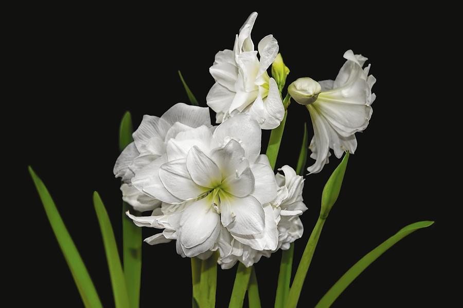 Amaryllis Photograph - White Amaryllis by Kay Brewer