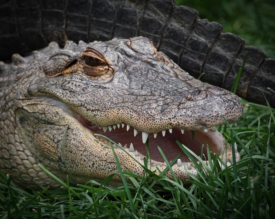 Alligator Photograph - American Alligator 1 by Ernie Echols