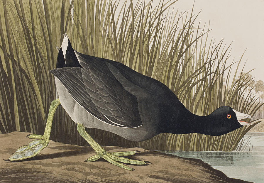 Coot Painting - American Coot by John James Audubon