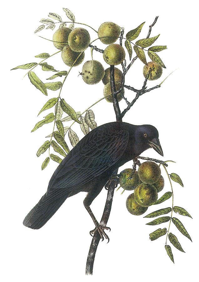 John James Audubon Painting - American Crow by John James Audubon
