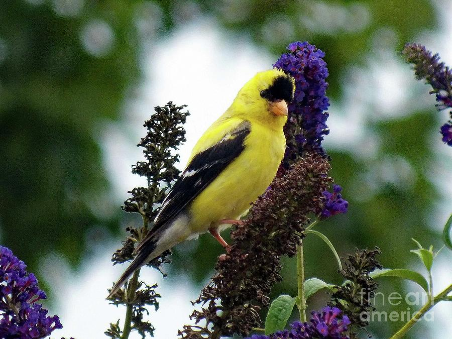 American Goldfinch On Butterfly Bush Photograph