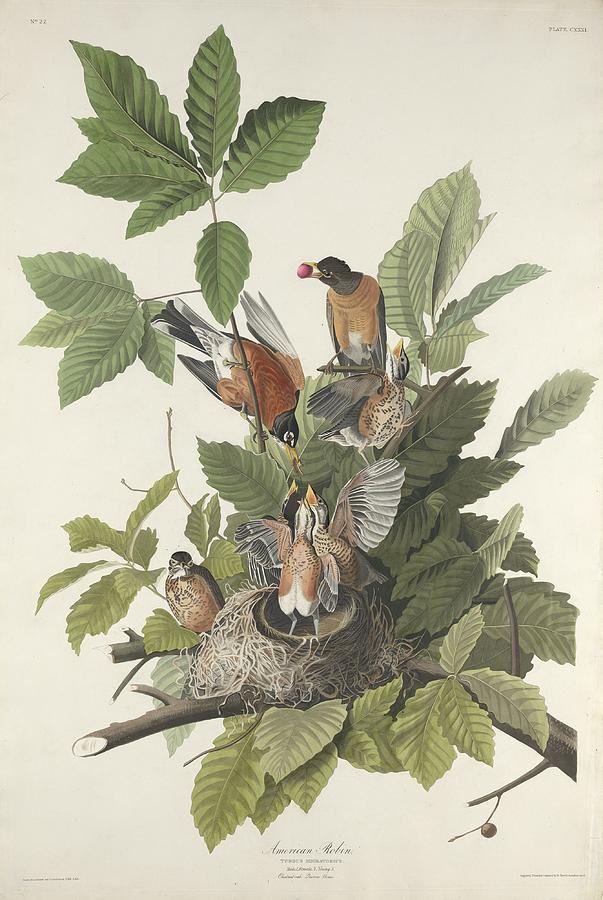Audubon Drawing - American Robin by Dreyer Wildlife Print Collections