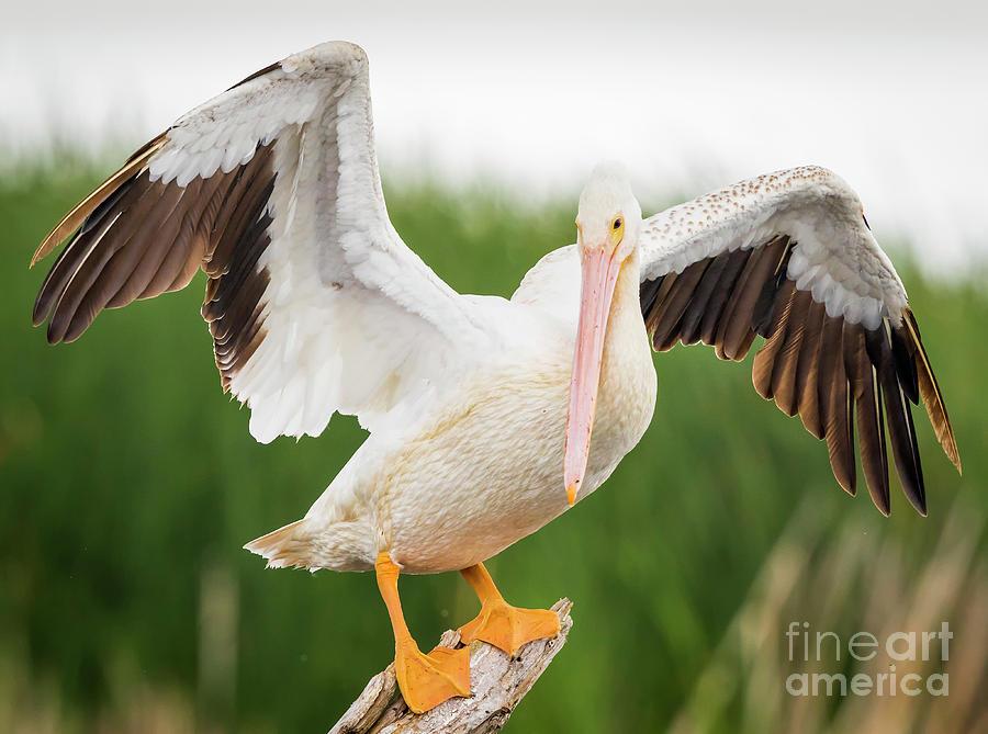 Canon Photograph - American White Pelican  by Ricky L Jones